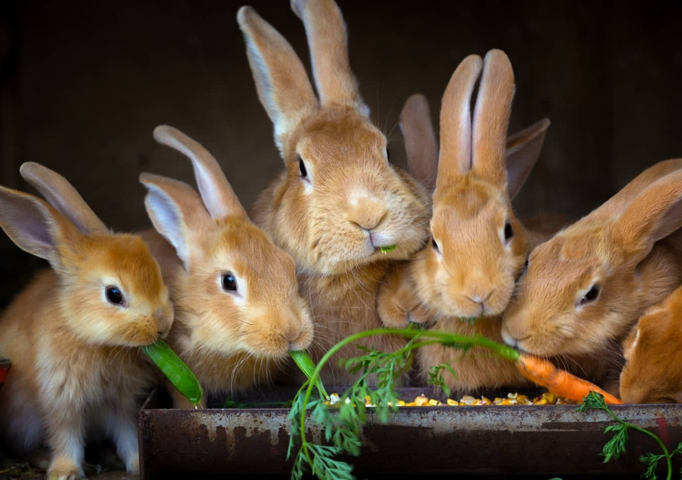 Chế độ ăn của Thỏ cảnh chủ yếu là rau cỏ