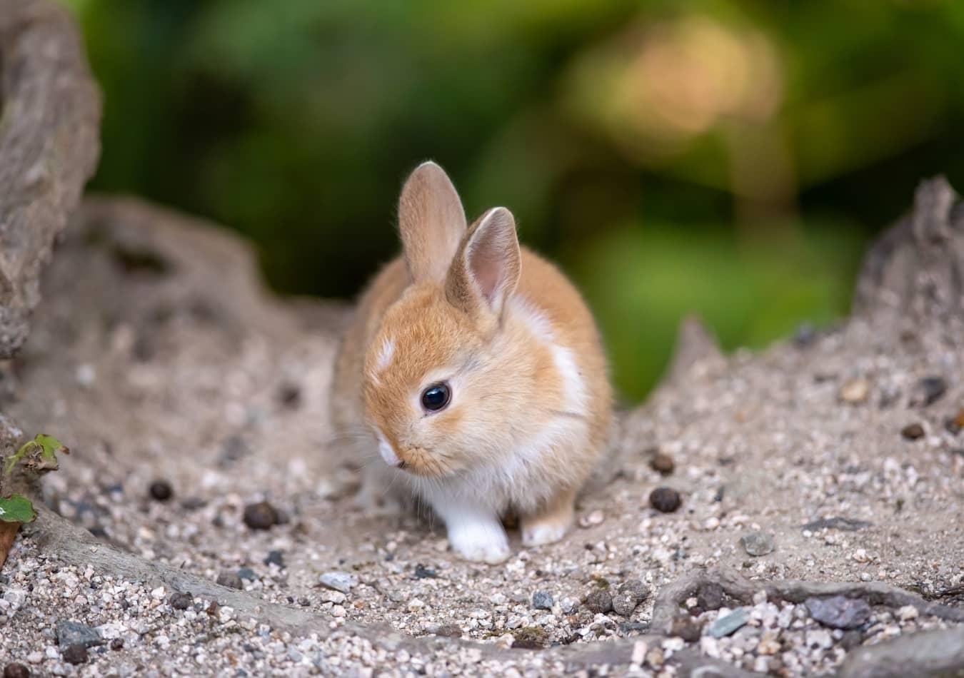 Mew.vn cung cấp Thỏ Cảnh chất lượng cao