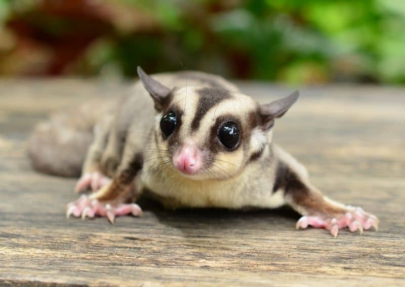 Sóc Bay Úc nhỏ và dễ thương