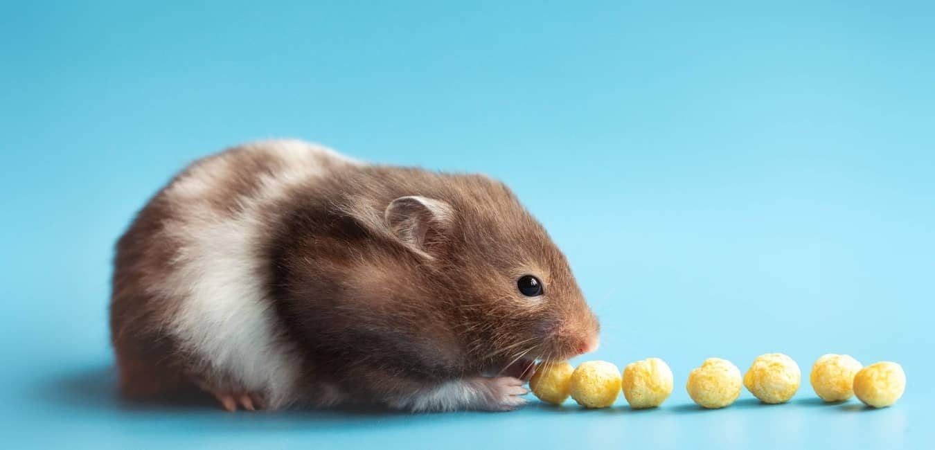 Chuột Hamster có ngoại hình dễ thương