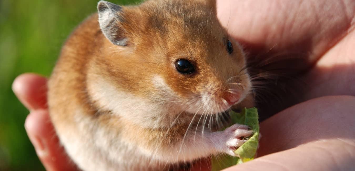 Chuột Hamster ăn gì có hại?
