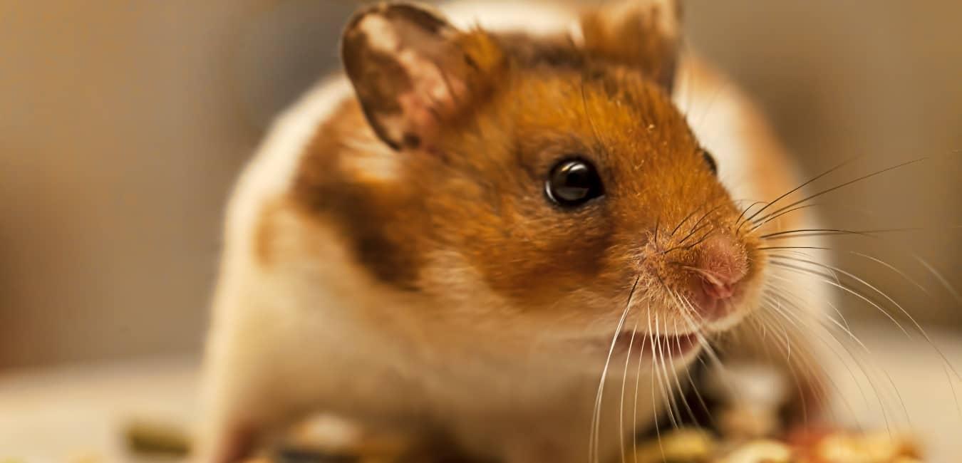 Cách nuôi chuột Hamster tốt nhất