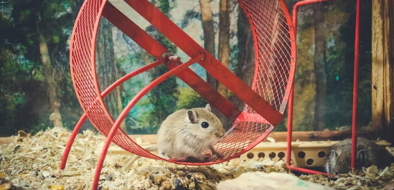 Chuột Hamster thích vui đùa.