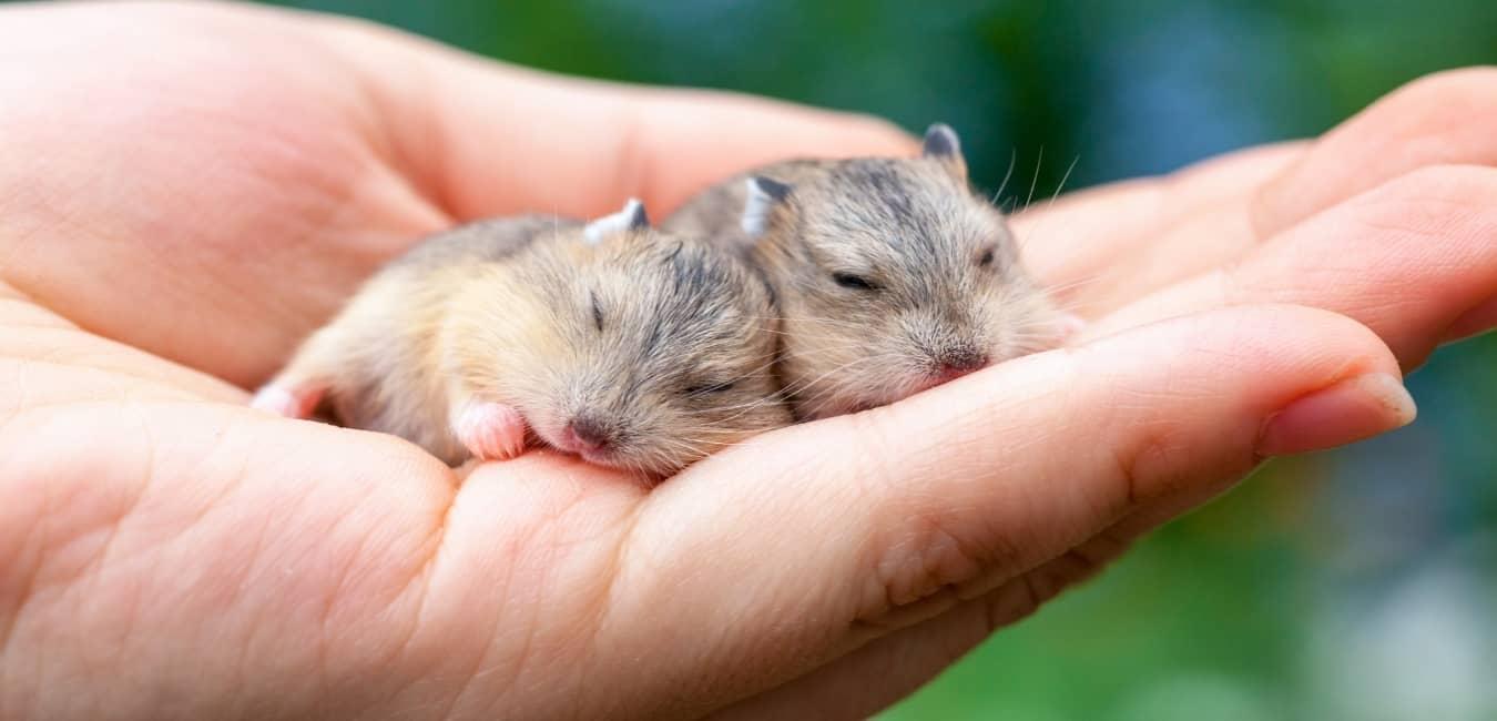 Một số bệnh thường gặp khi nuôi chuột Hamster
