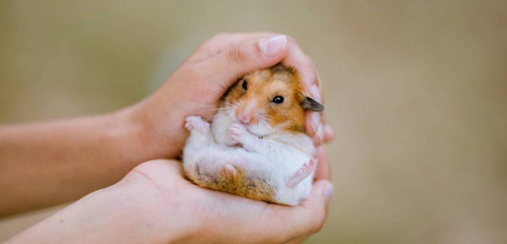 Chuột Hamster giá bao nhiêu?