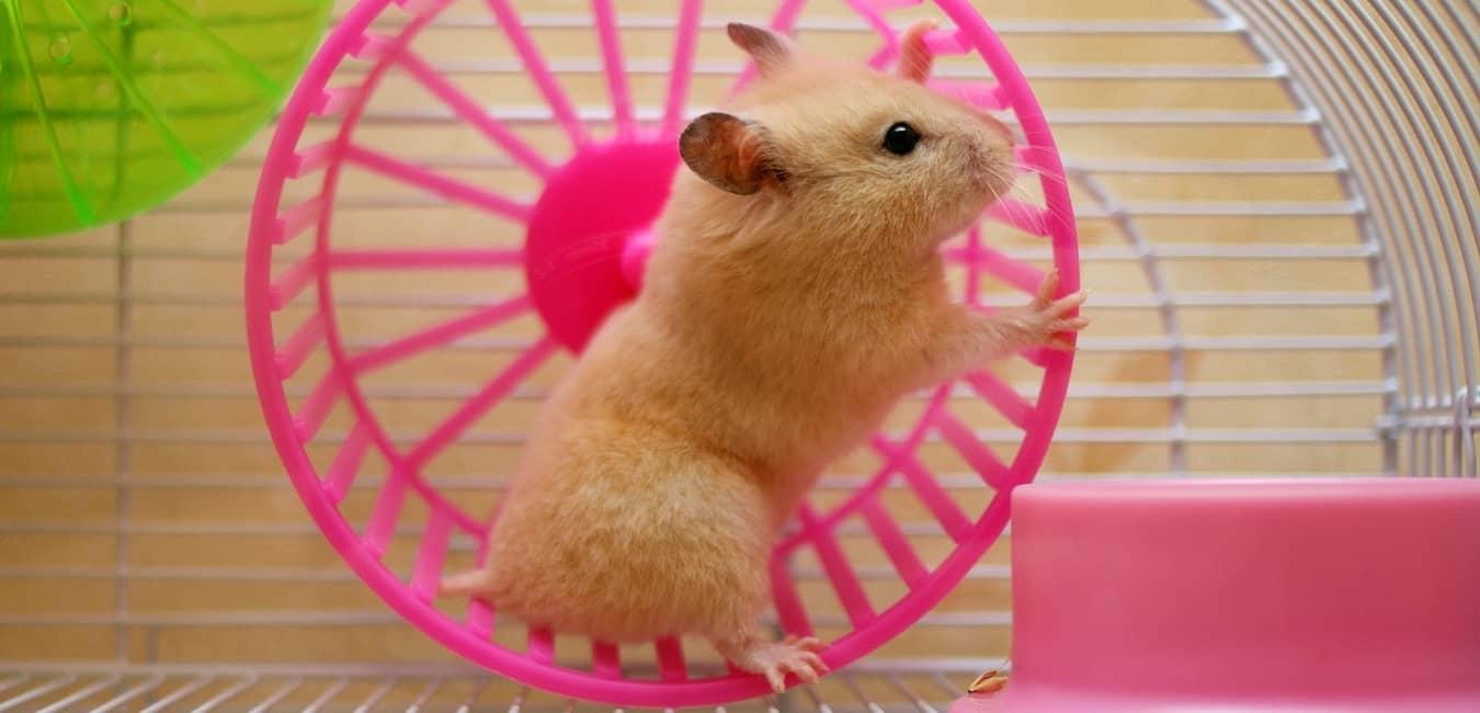 Chuột Hamster cần nơi thoáng mát