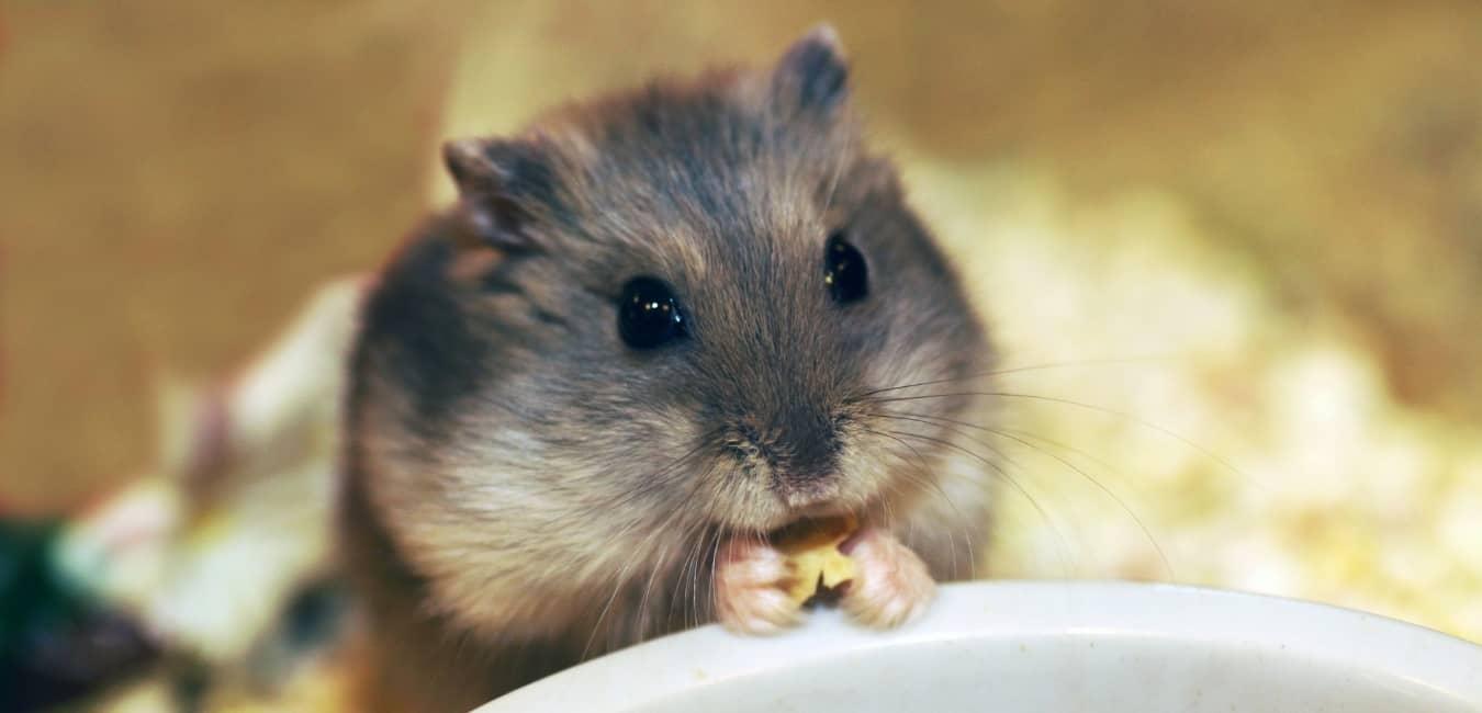 Chuột Hamster là loài ăn tạp.