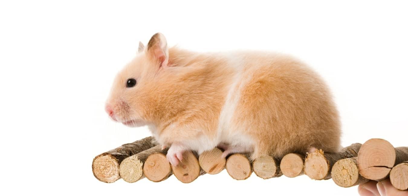 Giá chuột Hamster Bear.