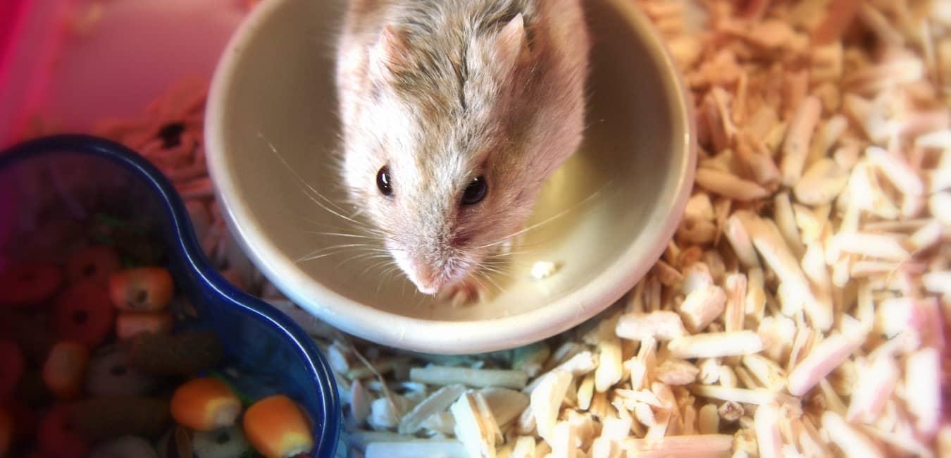 Chuột Hamster Robo.