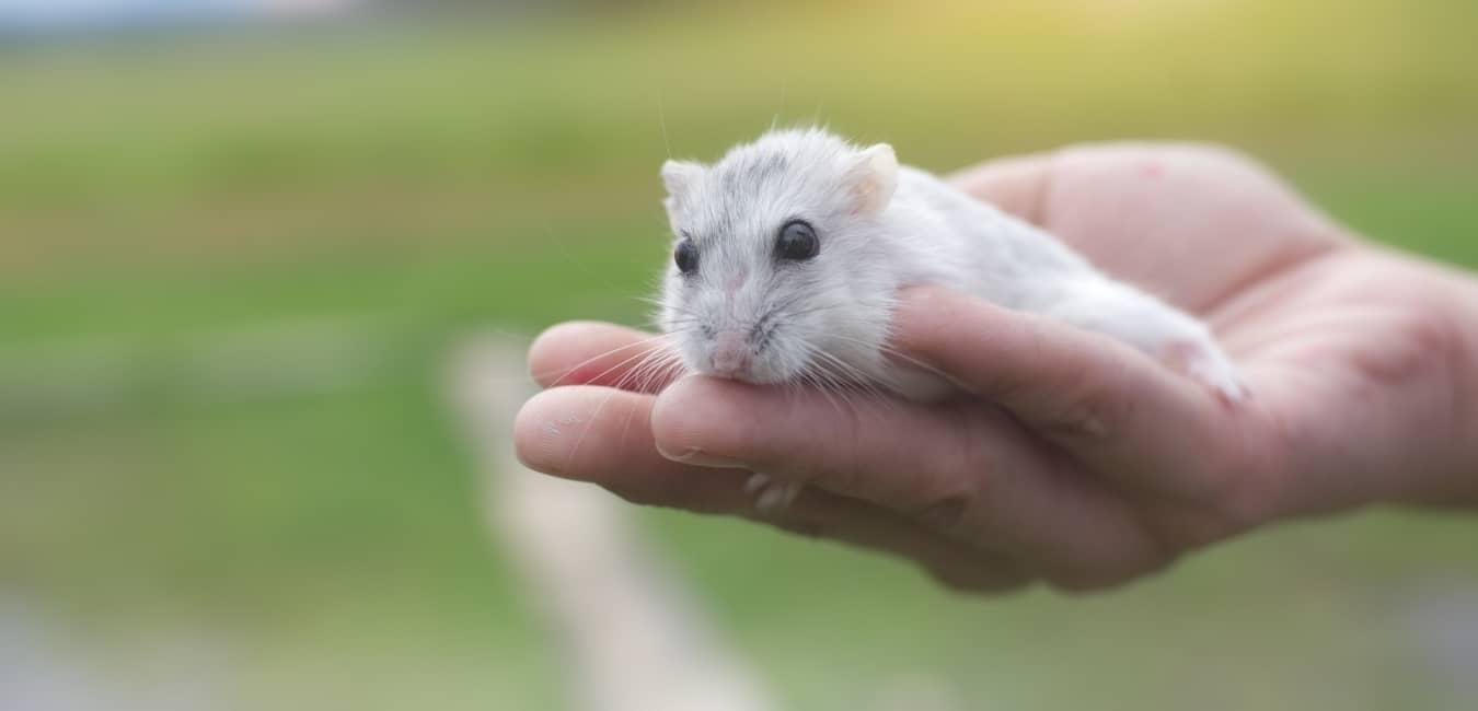 Chuột Hamster Winter White