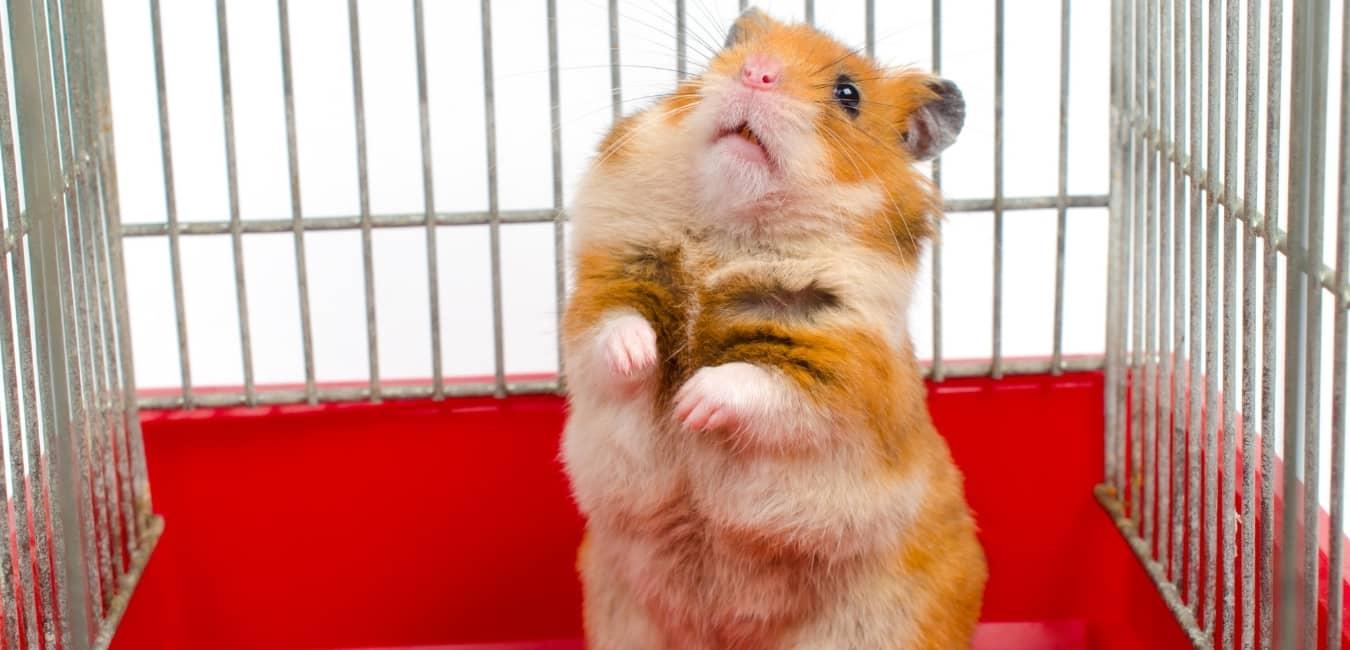 Địa chỉ bán chuột Hamster uy tín.