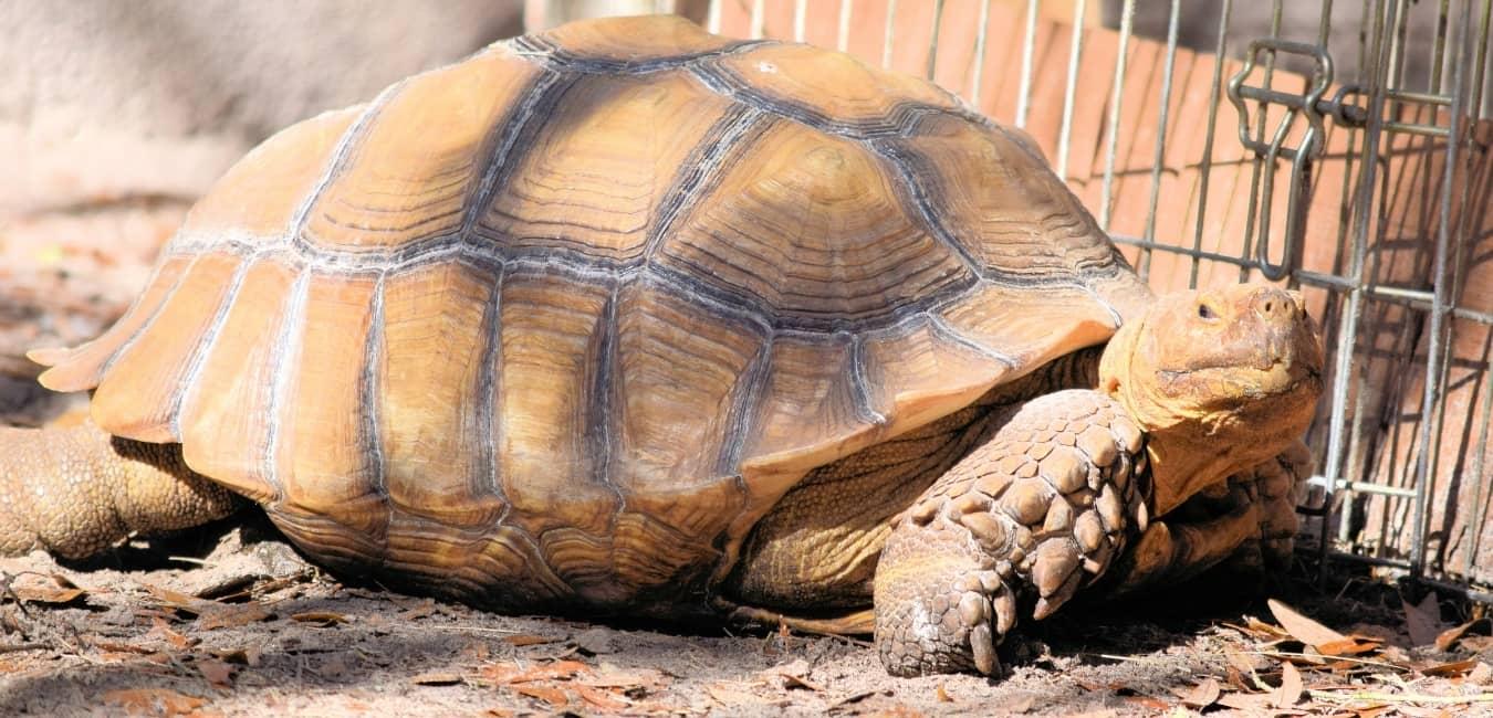 Rùa Châu Phi nuôi khá dễ