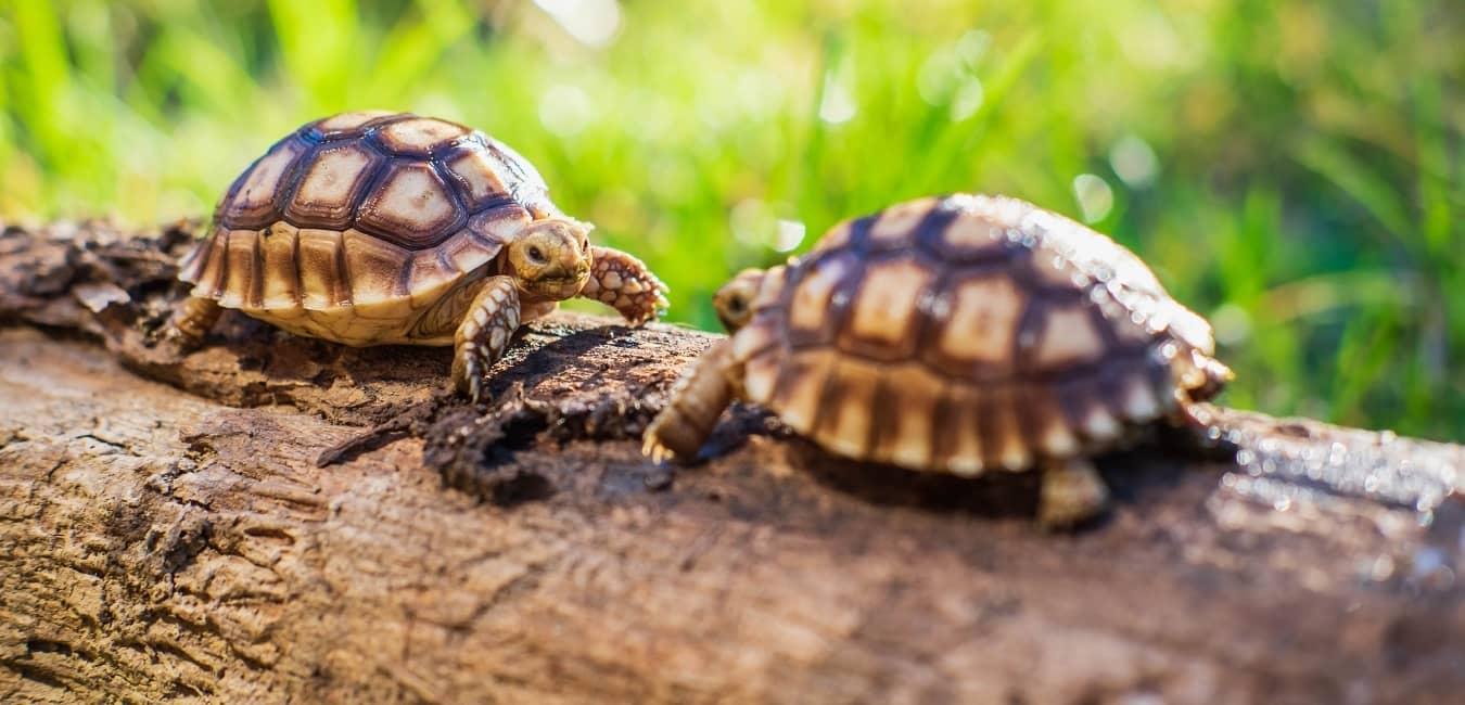 Rùa mới nở có kích thước khoảng 5 - 6cm