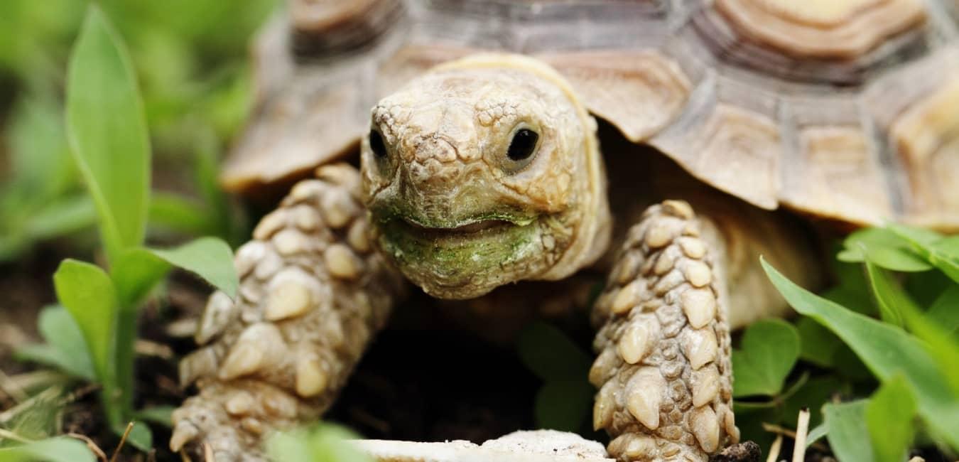 Rùa Sulcata được nuôi nhiều làm thú cưng