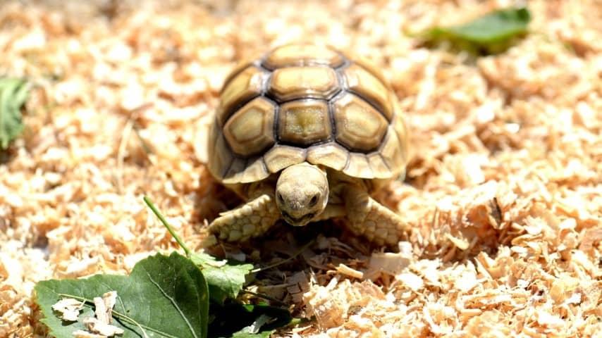 Rùa Sulcata - Rùa Châu Phi là gì?