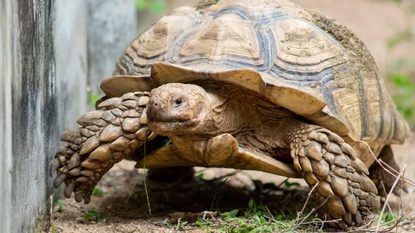 Ngoại hình rùa Sulcata