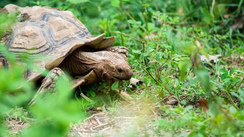 Rùa Châu Phi rất ngoan ngoãn và hiền lành