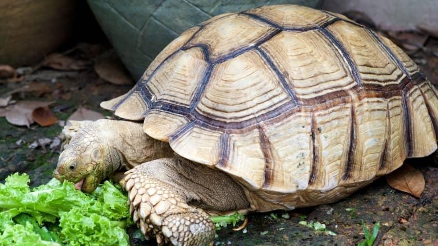 Rùa Châu Phi ăn thực vật