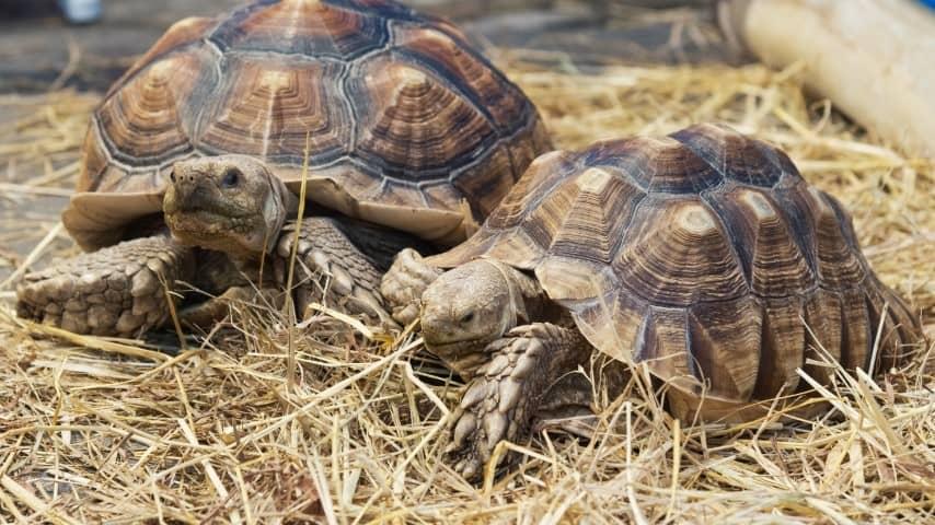 Rùa Sulcata tương đối khoẻ mạnh