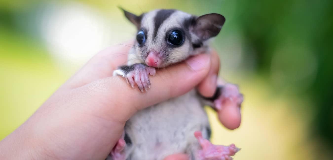 Sóc Bay Úc baby rất dễ thương