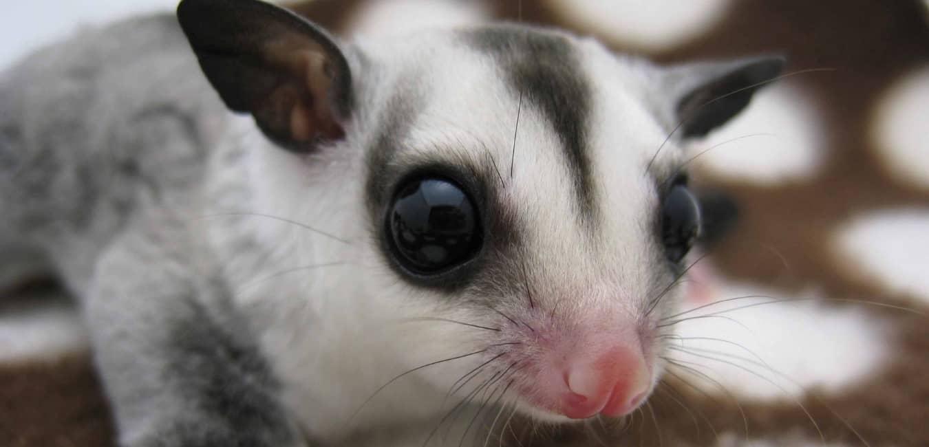 Sóc Bay Úc mặt trắng - White Face Sugar Glider
