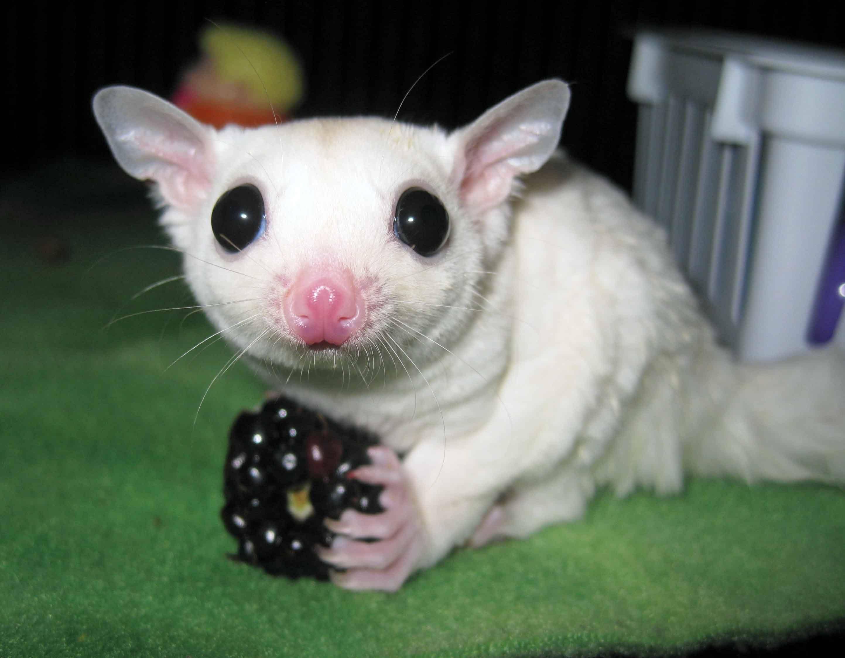 Sóc Bay Úc trắng mắt đen - Lucy Sugar Glider