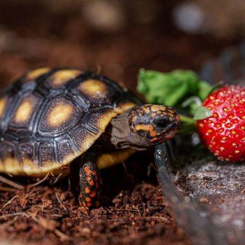 Sản phẩm Rùa Chân Đỏ Red Foot Tortoise 1